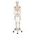 Human Skeleton Model Stan - 3B Smart Anatomy, 1020171 [A10], Skeleton Models - Life size (Small)