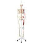Human Skeleton Model Max on Hanging Stand with Painted Muscle Origins & Inserts - 3B Smart Anatomy, 1020174 [A11/1], Skeleton Models - Life size