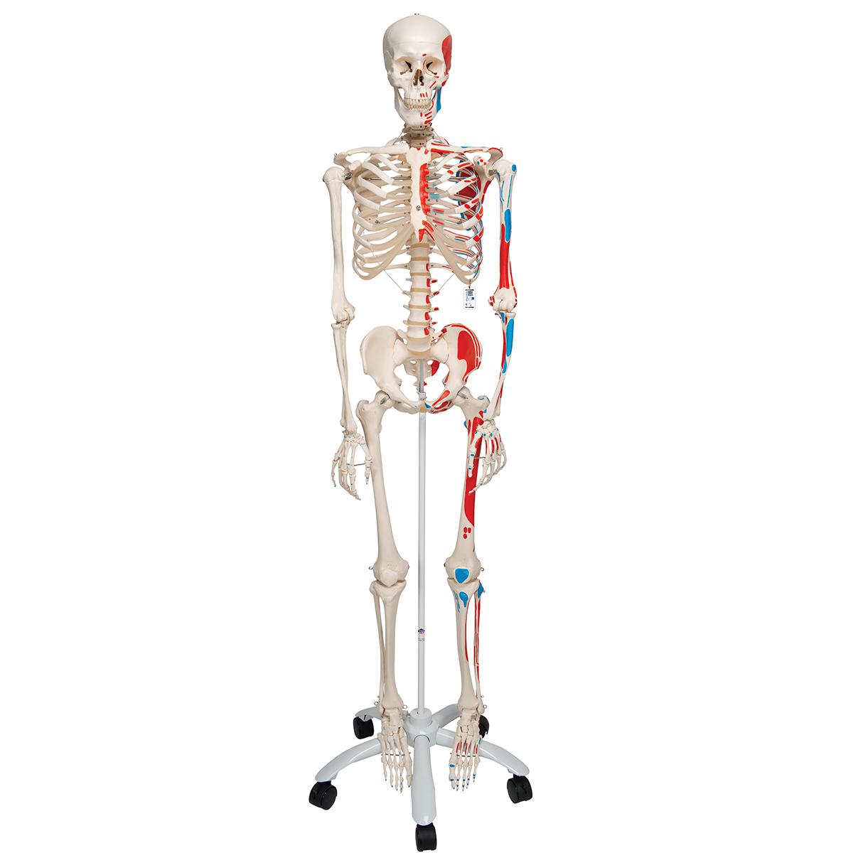 Human Skeleton Model Max | Human Anatomical Skeleton ...