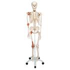 Human Skeleton Model Leo with Ligaments - 3B Smart Anatomy, 1020175 [A12], Skeleton Models - Life size