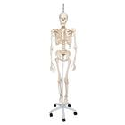 Physiological Skeleton Model - Phil - Hanging Stand, 1020179 [A15/3], Skeleton Models - Life size