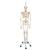 Physiological Skeleton Model - Phil - Hanging Stand, 1020179 [A15/3], Skeleton Models - Life size (Small)