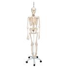 Functional Physiological Skeleton Model - Frank - Hanging Stand, 1020180 [A15/3S], Skeleton Models - Life size