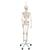 Functional Physiological Skeleton Model - Frank - Hanging Stand, 1020180 [A15/3S], Skeleton Models - Life size (Small)