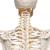 Flexible Human Skeleton Model Fred - 3B Smart Anatomy, 1020178 [A15], Skeleton Models - Life size (Small)