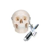 Mini Human Skull Model, 3 part - skullcap, base of skull, mandible,A18/15