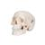 Mini Human Skull Model, 3-part (Skullcap, Base of Skull, Mandible) - 3B Smart Anatomy, 1000041 [A18/15], Human Skull Models (Small)