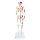 Mini Human Skeleton Shorty with Painted Muscles, Pelvic Mounted, Half Natural Size - 3B Smart Anatomy, 1000044 [A18/5], Mini Skeleton Models