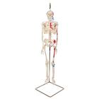 Mini Human Skeleton - Shorty - with painted muscles, on hanging stand,A18/6
