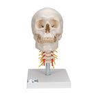 Human Skull Model on Cervical Spine, 4 part,A20/1