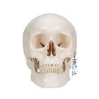 Classic Human Skull Model with 5 part Brain,A20/9