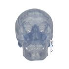 Transparent Classic Human Skull Model, 3 part,A20/T