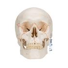 Numbered Human Classic Skull Model, 3 part - 3B Smart Anatomy, 1020165 [A21], Human Skull Models