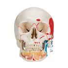 Classic Human Skull Model with Opened Lower Jaw, 3 part, painted,A22/1