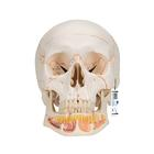 Classic Human Skull Model, with Opened Lower Jaw, 3 part,A22