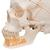 Classic Human Skull Model with Opened Lower Jaw, 3 part - 3B Smart Anatomy, 1020166 [A22], Human Skull Models (Small)