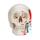Classic Human Skull Model painted, 3 part - 3B Smart Anatomy, 1020168 [A23], Human Skull Models