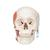TMJ Human Skull Model, Demonstrates Functions of Masticator Muscles, 2 part - 3B Smart Anatomy, 1020169 [A24], Human Skull Models (Small)
