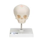 Foetal Skull Model, Natural Cast, 30th week of Pregnancy, on Stand - 3B Smart Anatomy, 1000058 [A26], Human Skull Models