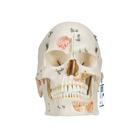 Deluxe Human Demonstration Dental Skull Model, 10 part - 3B Smart Anatomy, 1000059 [A27], Human Skull Models