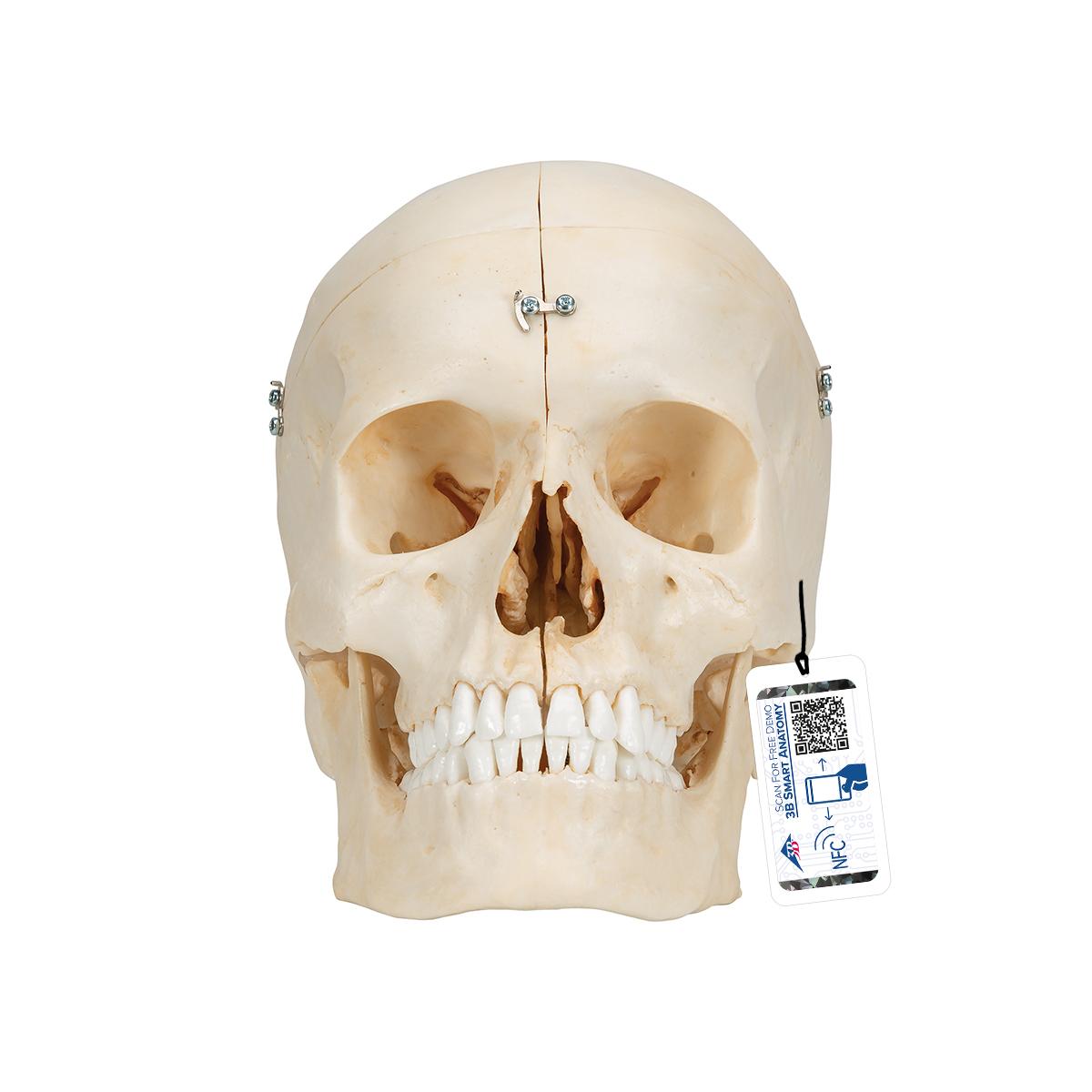 Human Skull Model Plastic Skull Model Realistic Bonelike Human Skull