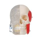 BONElike™ Human Skull Model, Half transparent and Half Bony, 8 part,A282