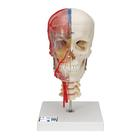 BONElike™ Human Skull Model, Half Transparent & Half Bony- Complete with  Brain and Vertebrae,A283
