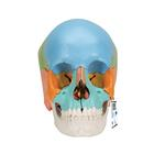 Beauchene Adult Human Skull Model - Didactic Colored Version, 22 part,A291