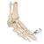 Human Foot & Ankle Skeleton, Wire Mounted - 3B Smart Anatomy, 1019357 [A31], Leg and Foot Skeleton Models (Small)