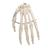 Human Hand Skeleton Model, Wire Mounted - 3B Smart Anatomy, 1019367 [A40], Arm and Hand Skeleton Models (Small)
