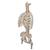 Classic Flexible Human Spine Model with Ribs & Femur Heads - 3B Smart Anatomy, 1000120 [A56/2], Human Spine Models (Small)
