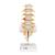 Human Lumbar Spinal Column Model with Dorso-Lateral Prolapsed Intervertebral Disc - 3B Smart Anatomy, 1000150 [A76/5], Vertebra Models (Small)