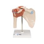 Deluxe Functional Human Shoulder Joint, Physiological Movable - 3B Smart Anatomy, 1000160 [A80/1], Joint Models