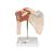 Deluxe Functional Human Shoulder Joint, Physiological Movable - 3B Smart Anatomy, 1000160 [A80/1], Joint Models (Small)