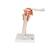 Functional Human Shoulder Joint  - 3B Smart Anatomy, 1000159 [A80], Joint Models (Small)