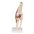 Functional Human Knee Joint Model with Ligaments & Marked Cartilage - 3B Smart Anatomy, 1000164 [A82/1], Joint Models (Small)