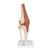 Functional Human Knee Joint Model with Ligaments - 3B Smart Anatomy, 1000163 [A82], Joint Models (Small)