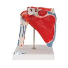 Human Shoulder Joint Model with Rotator Cuff & 4 Removable Muscles, 5 part - 3B Smart Anatomy, 1000176 [A880], Muscle Models