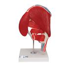 Human Hip Joint Model with Removable Muscles, 7 part - 3B Smart Anatomy, 1000177 [A881], Joint Models