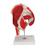 Human Hip Joint Model with Removable Muscles, 7 part - 3B Smart Anatomy, 1000177 [A881], Joint Models (Small)