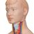 Mini Human Torso Model, 12 part - 3B Smart Anatomy, 1000195 [B22], Human Torso Models (Small)