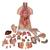Deluxe Dual Sex Human Torso Model, 24 part - 3B Smart Anatomy, 1000196 [B30], Human Torso Models (Small)