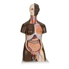 Deluxe Dual Sex African Torso Model, 24 part - 3B Smart Anatomy, 1000202 [B37], Human Torso Models