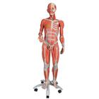 B50: 3/4 Life-Size Dual Sex Muscle Figure, 45-part