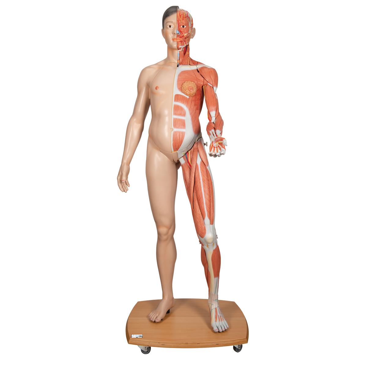 asian human muscular figure model - life-size muscular figure, Muscles