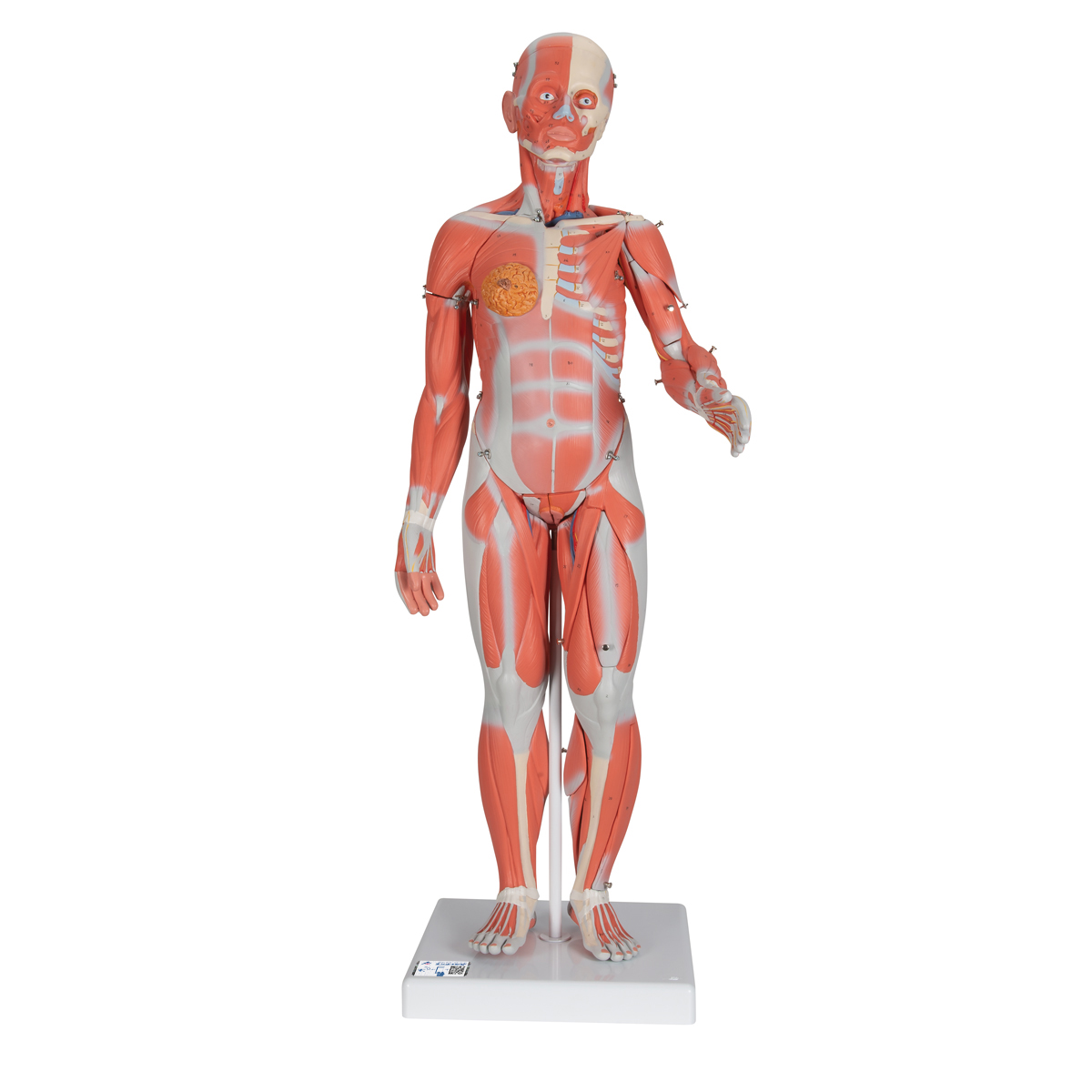 12 Life Size Complete Dual Sex Muscle Model 33 Part 1000210 3b