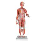 B55: 1/2 Life-Size Complete Dual Sex Muscle Figure, 33-part