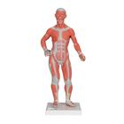 B59: 1/4 Life-Size Muscle Figure, 2-part