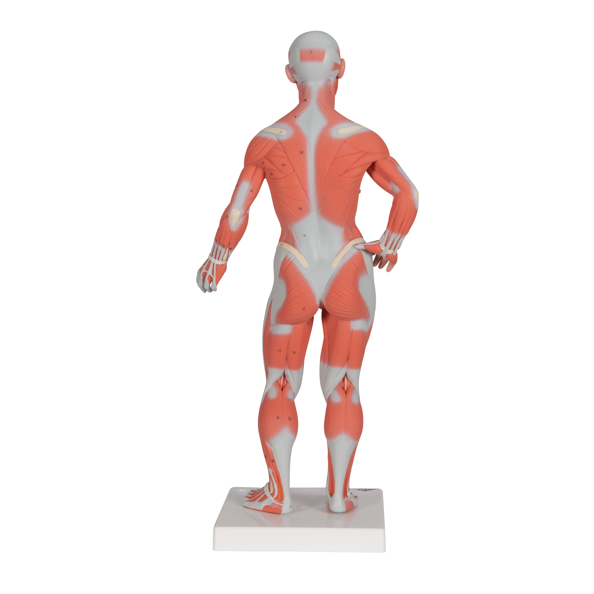 Muscle man model anatomy