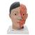 Asian Deluxe Head Model with Neck, 4 part - 3B Smart Anatomy, 1000215 [C06], Head Models (Small)